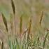 Kvapioji gardūnytė - Anthoxanthum odoratum | Fotografijos autorius : Kęstutis Obelevičius | © Macrogamta.lt | Šis tinklapis priklauso bendruomenei kuri domisi makro fotografija ir fotografuoja gyvąjį makro pasaulį.