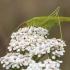 Lakštasparnis pjūklius - Phaneroptera falcata | Fotografijos autorius : Žilvinas Pūtys | © Macrogamta.lt | Šis tinklapis priklauso bendruomenei kuri domisi makro fotografija ir fotografuoja gyvąjį makro pasaulį.