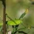 Lakštasparnis pjūklius - Phaneroptera phalcata | Fotografijos autorius : Dalia Račkauskaitė | © Macrogamta.lt | Šis tinklapis priklauso bendruomenei kuri domisi makro fotografija ir fotografuoja gyvąjį makro pasaulį.