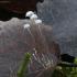 Lapinis mažūnis - Marasmius epiphyllus | Fotografijos autorius : Vytautas Gluoksnis | © Macrogamta.lt | Šis tinklapis priklauso bendruomenei kuri domisi makro fotografija ir fotografuoja gyvąjį makro pasaulį.