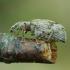 Lapinukas  - Polydrusus tereticollis | Fotografijos autorius : Romas Ferenca | © Macrogamta.lt | Šis tinklapis priklauso bendruomenei kuri domisi makro fotografija ir fotografuoja gyvąjį makro pasaulį.