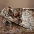 Lazdyninis miškinukas - Colocasia coryli ♂ | Fotografijos autorius : Žilvinas Pūtys | © Macrogamta.lt | Šis tinklapis priklauso bendruomenei kuri domisi makro fotografija ir fotografuoja gyvąjį makro pasaulį.