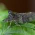 Ledra aurita | Fotografijos autorius : Eglė Vičiuvienė (Černevičiūtė) | © Macrogamta.lt | Šis tinklapis priklauso bendruomenei kuri domisi makro fotografija ir fotografuoja gyvąjį makro pasaulį.