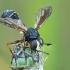Lenktapilvė musė - Physocephala rufipes | Fotografijos autorius : Gintautas Steiblys | © Macrogamta.lt | Šis tinklapis priklauso bendruomenei kuri domisi makro fotografija ir fotografuoja gyvąjį makro pasaulį.