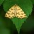 Leopardinis sprindžius - Pseudopanthera macularia | Fotografijos autorius : Žilvinas Pūtys | © Macrogamta.lt | Šis tinklapis priklauso bendruomenei kuri domisi makro fotografija ir fotografuoja gyvąjį makro pasaulį.