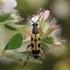 Dėmėtasis grakštenis - Rutpela maculata | Fotografijos autorius : Gintautas Steiblys | © Macrogamta.lt | Šis tinklapis priklauso bendruomenei kuri domisi makro fotografija ir fotografuoja gyvąjį makro pasaulį.