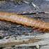 Purpurinis plokščiavabalis - Cucujus cinnaberinus, lerva | Fotografijos autorius : Gintautas Steiblys | © Macrogamta.lt | Šis tinklapis priklauso bendruomenei kuri domisi makro fotografija ir fotografuoja gyvąjį makro pasaulį.