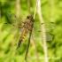 Keturtaškė skėtė (Libellula quadrimaculata) | Fotografijos autorius : Aleksandras Naryškin | © Macrogamta.lt | Šis tinklapis priklauso bendruomenei kuri domisi makro fotografija ir fotografuoja gyvąjį makro pasaulį.