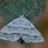 Lygiajuostė cidarija - Mesotype parallelolineata | Fotografijos autorius : Arūnas Eismantas | © Macrogamta.lt | Šis tinklapis priklauso bendruomenei kuri domisi makro fotografija ir fotografuoja gyvąjį makro pasaulį.