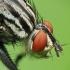 Mėsmusė - Sarcophaga sp. | Fotografijos autorius : Vidas Brazauskas | © Macrogamta.lt | Šis tinklapis priklauso bendruomenei kuri domisi makro fotografija ir fotografuoja gyvąjį makro pasaulį.