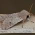 Mažasis ankstyvasis pelėdgalvis - Orthosia cruda | Fotografijos autorius : Žilvinas Pūtys | © Macrogamta.lt | Šis tinklapis priklauso bendruomenei kuri domisi makro fotografija ir fotografuoja gyvąjį makro pasaulį.