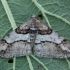 Mažasis ankstyvasis sprindžius - Agriopis leucophaearia ♂ | Fotografijos autorius : Žilvinas Pūtys | © Macrogamta.lt | Šis tinklapis priklauso bendruomenei kuri domisi makro fotografija ir fotografuoja gyvąjį makro pasaulį.