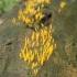 Mažasis tampriagrybis - Calocera cornea | Fotografijos autorius : Vytautas Gluoksnis | © Macrogamta.lt | Šis tinklapis priklauso bendruomenei kuri domisi makro fotografija ir fotografuoja gyvąjį makro pasaulį.