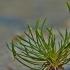 Mažoji strugena - Myosurus minimus   Fotografijos autorius : Kęstutis Obelevičius   © Macrogamta.lt   Šis tinklapis priklauso bendruomenei kuri domisi makro fotografija ir fotografuoja gyvąjį makro pasaulį.