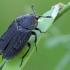 Smailiapetis maitvabalis - Thanatophilus sinuatus | Fotografijos autorius : Gintautas Steiblys | © Macrogamta.lt | Šis tinklapis priklauso bendruomenei kuri domisi makro fotografija ir fotografuoja gyvąjį makro pasaulį.
