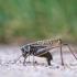 Margasis žiogas - Decticus verrucivorus | Fotografijos autorius : Agnė Našlėnienė | © Macrogamta.lt | Šis tinklapis priklauso bendruomenei kuri domisi makro fotografija ir fotografuoja gyvąjį makro pasaulį.