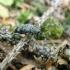 Liepinis pilkšys - Oplosia cinerea | Fotografijos autorius : Agnė Kulpytė | © Macrogamta.lt | Šis tinklapis priklauso bendruomenei kuri domisi makro fotografija ir fotografuoja gyvąjį makro pasaulį.