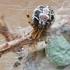 Margasis kilpininkas - Phylloneta sisyphia | Fotografijos autorius : Gintautas Steiblys | © Macrogamta.lt | Šis tinklapis priklauso bendruomenei kuri domisi makro fotografija ir fotografuoja gyvąjį makro pasaulį.