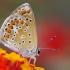 Melsvys - Polyommatus celina   Fotografijos autorius : Deividas Makavičius   © Macrogamta.lt   Šis tinklapis priklauso bendruomenei kuri domisi makro fotografija ir fotografuoja gyvąjį makro pasaulį.