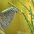 Didysis melsvys - Polyommatus amandus  | Fotografijos autorius : Vidas Brazauskas | © Macrogamta.lt | Šis tinklapis priklauso bendruomenei kuri domisi makro fotografija ir fotografuoja gyvąjį makro pasaulį.