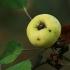 Miškinė obelis - Malus sylvestris, vaisius | Fotografijos autorius : Gintautas Steiblys | © Macrogamta.lt | Šis tinklapis priklauso bendruomenei kuri domisi makro fotografija ir fotografuoja gyvąjį makro pasaulį.