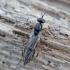 Musė - Xylophagus ater | Fotografijos autorius : Romas Ferenca | © Macrogamta.lt | Šis tinklapis priklauso bendruomenei kuri domisi makro fotografija ir fotografuoja gyvąjį makro pasaulį.