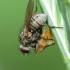 Tikramusė - Coenosia tigrina | Fotografijos autorius : Vidas Brazauskas | © Macrogamta.lt | Šis tinklapis priklauso bendruomenei kuri domisi makro fotografija ir fotografuoja gyvąjį makro pasaulį.