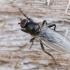Musė - Crumomyia sp. | Fotografijos autorius : Gintautas Steiblys | © Macrogamta.lt | Šis tinklapis priklauso bendruomenei kuri domisi makro fotografija ir fotografuoja gyvąjį makro pasaulį.