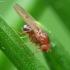 Vaisinė muselė - Drosophila sp. | Fotografijos autorius : Vidas Brazauskas | © Macrogamta.lt | Šis tinklapis priklauso bendruomenei kuri domisi makro fotografija ir fotografuoja gyvąjį makro pasaulį.