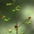 Nariuotasis bervidis - scrophularia nodosa | Fotografijos autorius : Vidas Brazauskas | © Macrogamta.lt | Šis tinklapis priklauso bendruomenei kuri domisi makro fotografija ir fotografuoja gyvąjį makro pasaulį.