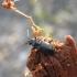 Šeriaūsis žygis - Loricera pilicornis | Fotografijos autorius : Agnė Kulpytė | © Macrogamta.lt | Šis tinklapis priklauso bendruomenei kuri domisi makro fotografija ir fotografuoja gyvąjį makro pasaulį.