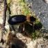 Nebria (Paranebria) livida (Linnaeus, 1758) | Fotografijos autorius : Vitalii Alekseev | © Macrogamta.lt | Šis tinklapis priklauso bendruomenei kuri domisi makro fotografija ir fotografuoja gyvąjį makro pasaulį.