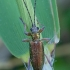 Nendrinė donacija - Donacia clavipes | Fotografijos autorius : Romas Ferenca | © Macrogamta.lt | Šis tinklapis priklauso bendruomenei kuri domisi makro fotografija ir fotografuoja gyvąjį makro pasaulį.