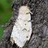 Neporinis verpikas - Lymantria dispar ♀ | Fotografijos autorius : Romas Ferenca | © Macrogamta.lt | Šis tinklapis priklauso bendruomenei kuri domisi makro fotografija ir fotografuoja gyvąjį makro pasaulį.