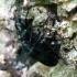 Lazdyninis niūravabalis | Fotografijos autorius : Vitalii Alekseev | © Macrogamta.lt | Šis tinklapis priklauso bendruomenei kuri domisi makro fotografija ir fotografuoja gyvąjį makro pasaulį.