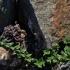 Pajūrinė pienažolė - Glaux maritima | Fotografijos autorius : Kęstutis Obelevičius | © Macrogamta.lt | Šis tinklapis priklauso bendruomenei kuri domisi makro fotografija ir fotografuoja gyvąjį makro pasaulį.