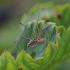 Paprastasis šienpjovys - Phalangium opilio | Fotografijos autorius : Agnė Našlėnienė | © Macrogamta.lt | Šis tinklapis priklauso bendruomenei kuri domisi makro fotografija ir fotografuoja gyvąjį makro pasaulį.