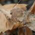 Paprastasis ankstyvasis pelėdgalvis - Orthosia incerta | Fotografijos autorius : Gintautas Steiblys | © Macrogamta.lt | Šis tinklapis priklauso bendruomenei kuri domisi makro fotografija ir fotografuoja gyvąjį makro pasaulį.