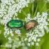 Paprastasis auksavabalis (Cetonia aurata) | Fotografijos autorius : Aleksandras Naryškin | © Macrogamta.lt | Šis tinklapis priklauso bendruomenei kuri domisi makro fotografija ir fotografuoja gyvąjį makro pasaulį.