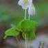 Paprastasis kiškiakopūstis - Oxalis acetosella | Fotografijos autorius : Gintautas Steiblys | © Macrogamta.lt | Šis tinklapis priklauso bendruomenei kuri domisi makro fotografija ir fotografuoja gyvąjį makro pasaulį.