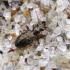 Paprastasis linažygis - Asaphidion flavipes | Fotografijos autorius : Vitalii Alekseev | © Macrogamta.lt | Šis tinklapis priklauso bendruomenei kuri domisi makro fotografija ir fotografuoja gyvąjį makro pasaulį.