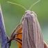 Gelsvapilkis pievinukas | Fotografijos autorius : Darius Baužys | © Macrogamta.lt | Šis tinklapis priklauso bendruomenei kuri domisi makro fotografija ir fotografuoja gyvąjį makro pasaulį.