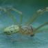 Paprastasis pinkliavoris - Enoplognatha ovata ♂ | Fotografijos autorius : Žilvinas Pūtys | © Macrogamta.lt | Šis tinklapis priklauso bendruomenei kuri domisi makro fotografija ir fotografuoja gyvąjį makro pasaulį.