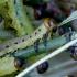 Paprastasis pušinis pjūklelis - Diprion pini, vikšras | Fotografijos autorius : Romas Ferenca | © Macrogamta.lt | Šis tinklapis priklauso bendruomenei kuri domisi makro fotografija ir fotografuoja gyvąjį makro pasaulį.