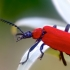 Paprastasis raudonvabalis - Pyrochroa coccinea | Fotografijos autorius : Gediminas Gražulevičius | © Macrogamta.lt | Šis tinklapis priklauso bendruomenei kuri domisi makro fotografija ir fotografuoja gyvąjį makro pasaulį.