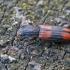 Paprastasis siauravabalis - Bitoma crenata | Fotografijos autorius : Gintautas Steiblys | © Macrogamta.lt | Šis tinklapis priklauso bendruomenei kuri domisi makro fotografija ir fotografuoja gyvąjį makro pasaulį.