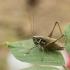 Paprastasis spragtukas - Metrioptera roeselii ( ♂ ) | Fotografijos autorius : Giedrius Markevičius | © Macrogamta.lt | Šis tinklapis priklauso bendruomenei kuri domisi makro fotografija ir fotografuoja gyvąjį makro pasaulį.