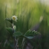 Paprastoji žemuogė - Fragaria vesca   Fotografijos autorius : Agnė Našlėnienė   © Macrogamta.lt   Šis tinklapis priklauso bendruomenei kuri domisi makro fotografija ir fotografuoja gyvąjį makro pasaulį.