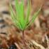 Paprastoji eglė - Picea abies | Fotografijos autorius : Gintautas Steiblys | © Macrogamta.lt | Šis tinklapis priklauso bendruomenei kuri domisi makro fotografija ir fotografuoja gyvąjį makro pasaulį.