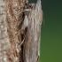 Paprastoji kukulija - Cucullia umbratica   Fotografijos autorius : Žilvinas Pūtys   © Macrogamta.lt   Šis tinklapis priklauso bendruomenei kuri domisi makro fotografija ir fotografuoja gyvąjį makro pasaulį.